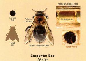 carpenter-bees